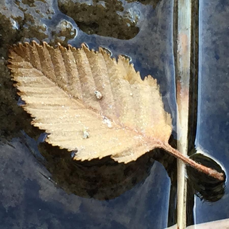 Leaf Photograph - Leaf on Water by Vonda Drees