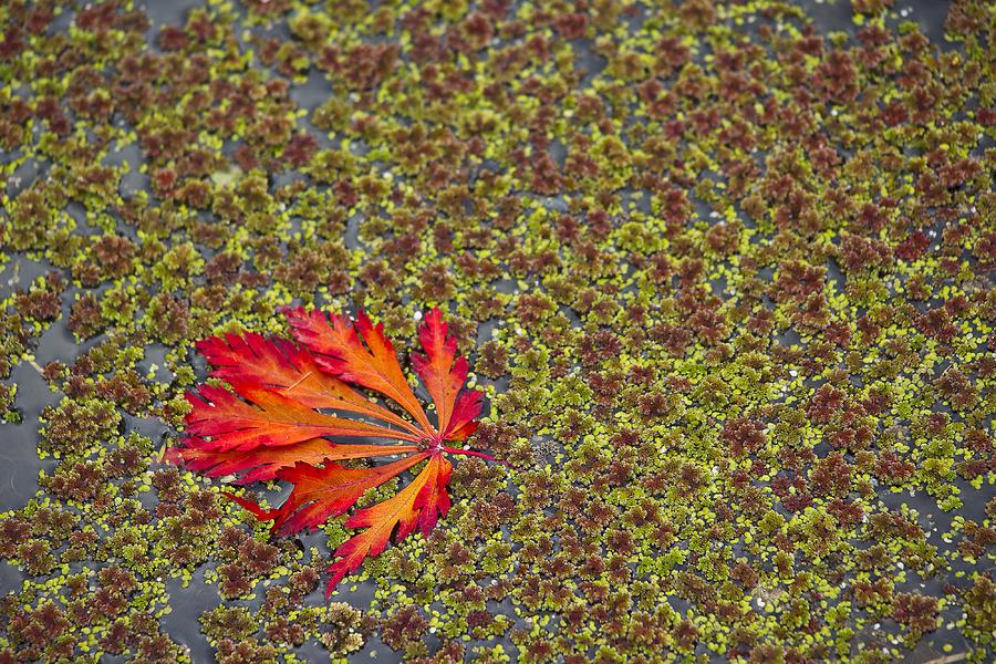 Leaf Photograph - Leaf Pond by John Willy