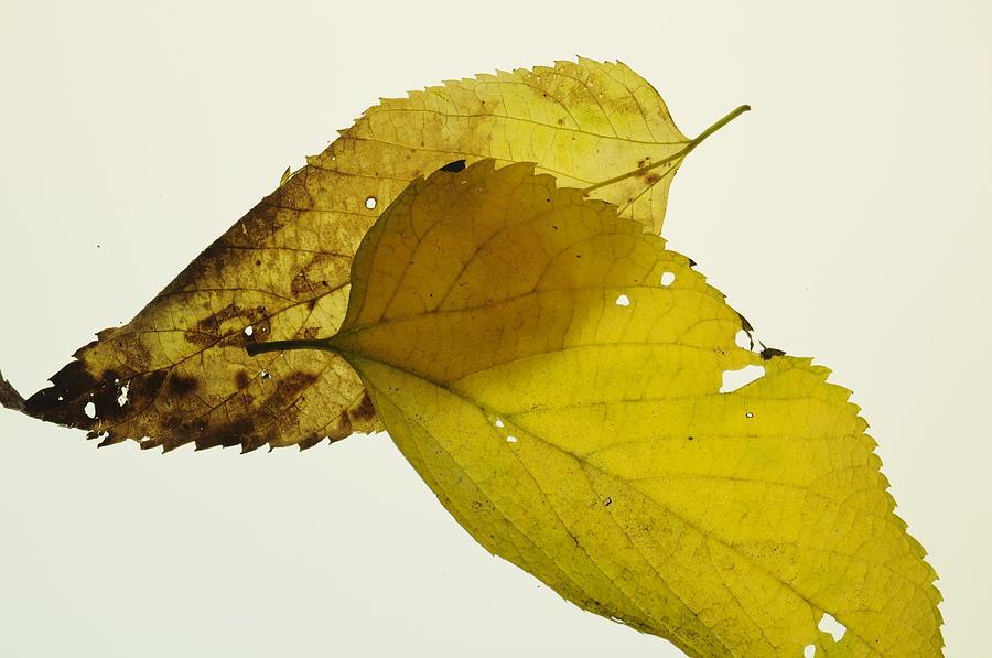 Leaf Photograph - Leaf Symmetry by Jon Benson