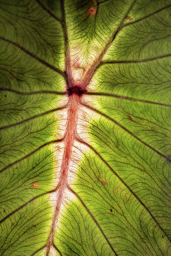 Leaf Photograph - Leaf With Veins by Don Johnson