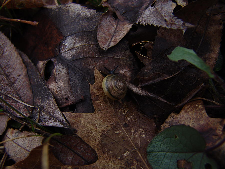 Leafs Photograph - Leafs With Snail 03 by Ryan Vaal
