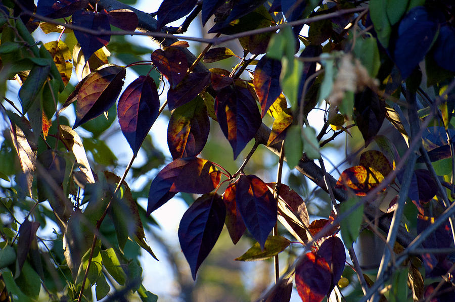 Autumn Leaves Photograph - Leafy Light Show by Ross Powell