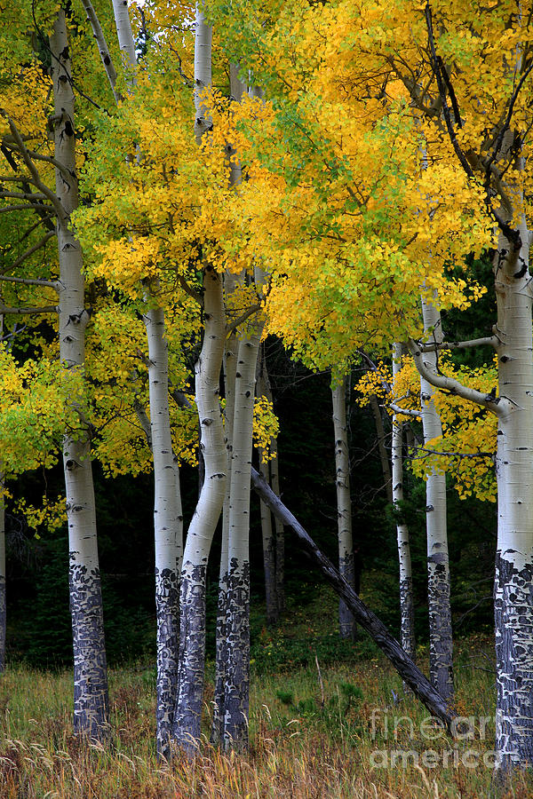 Leaning Aspen by Timothy Johnson