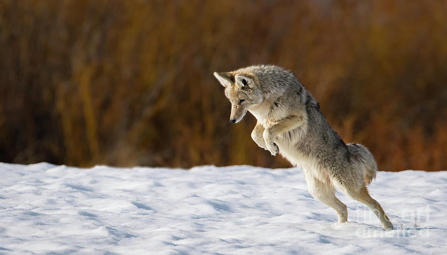 Leaping Coyote by Brad Schwarm