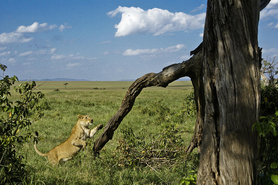 Africa Photograph - Leaping Lion by Michele Burgess