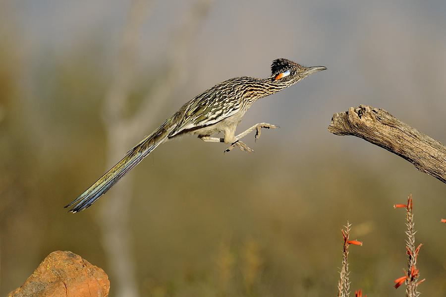 Greater Photograph - Leaping Roadrunner by Scott  Linstead