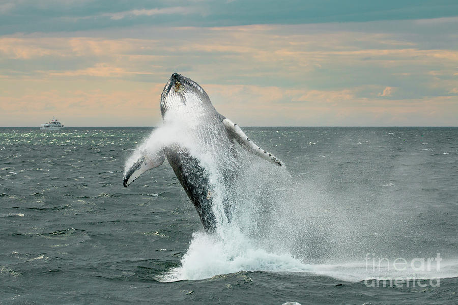 Leaping Whale by Paul Hennell