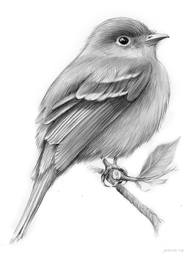 Least Flycatcher Drawing