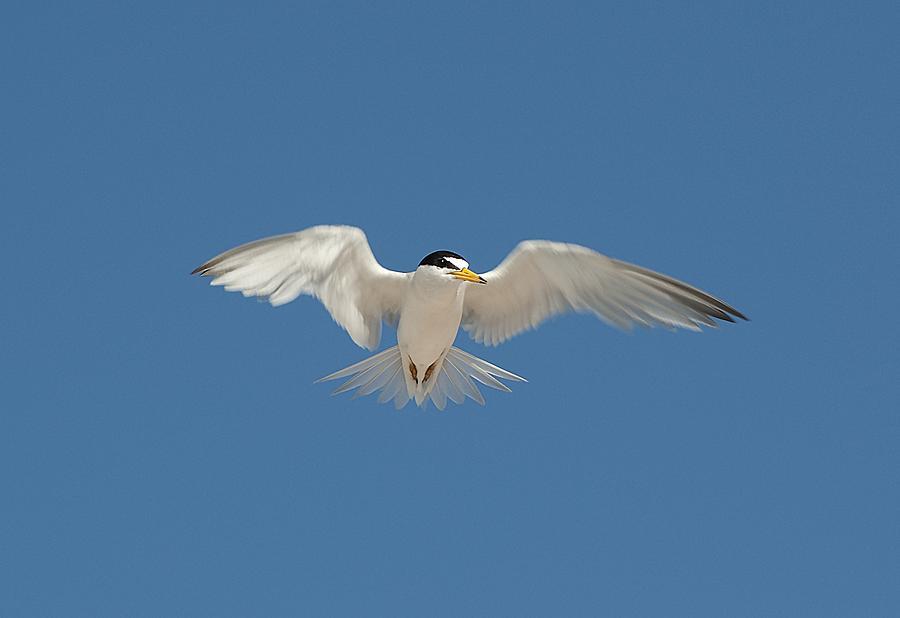 Bird Photograph - Least Tern 2 by Kenneth Albin