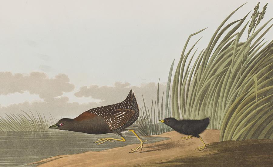 Audubon Painting - Least Water Hen by John James Audubon