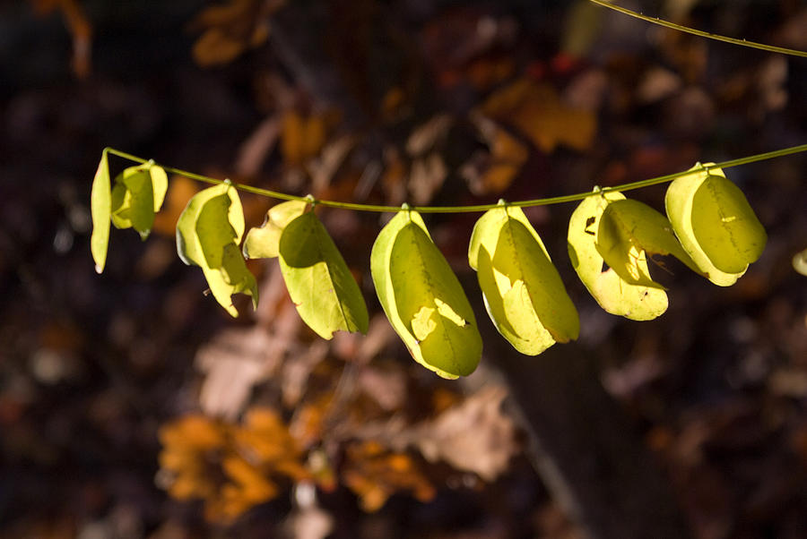 Leaves Photograph - Leaves All In A Row by Douglas Barnett