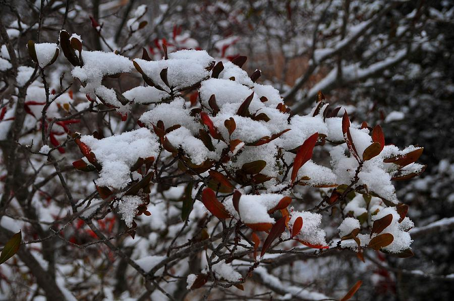 Leaves And Powery Snow Photograph by Bill Driscoll