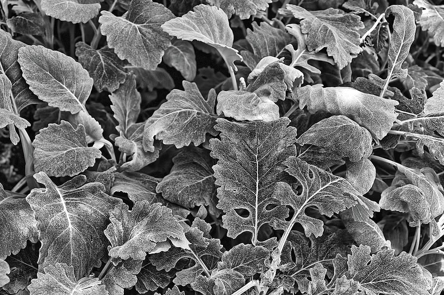 Longwood Gardens Photograph - Leaves, Black And White by Richard Goldman