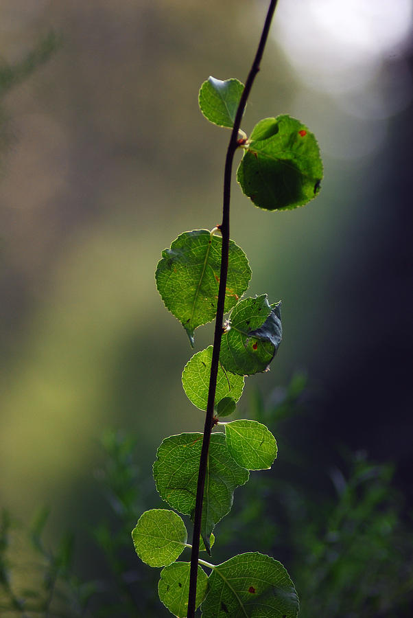 Leaves Photograph - Leaves by Coralyn Klubnick Simone