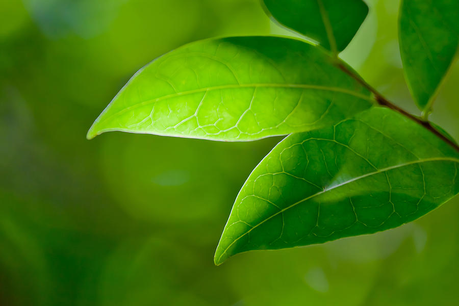 Leaf Photograph - Leaves Of Green by Az Jackson