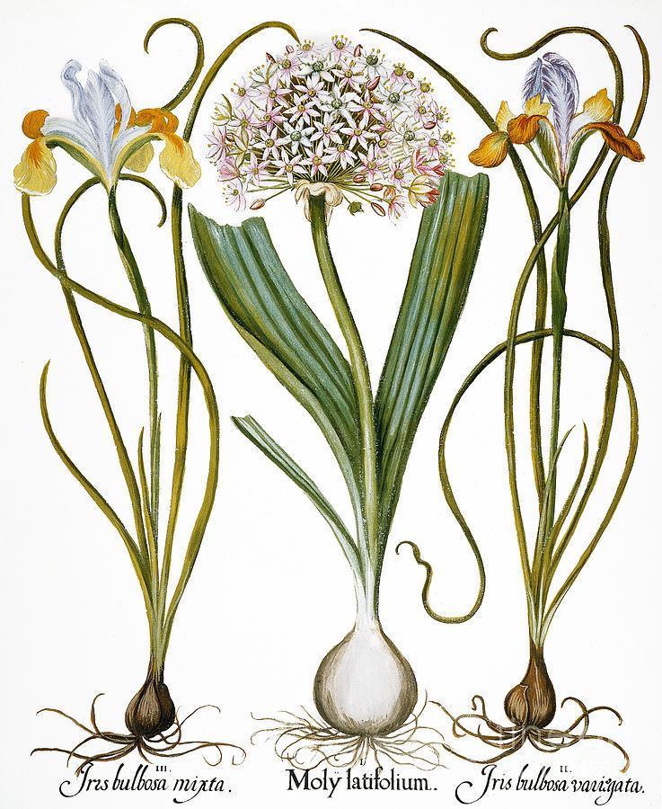 Basilius Photograph - Leek And Irises, 1613 by Granger