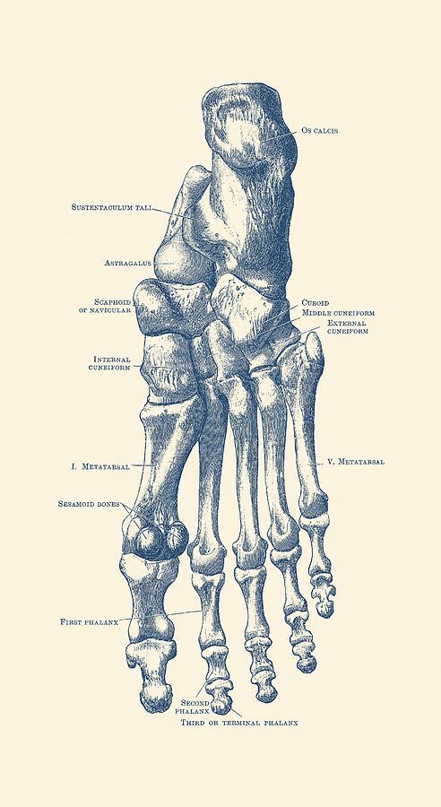 Left Foot Skeletal Diagram Vintage Anatomy Poster Drawing By