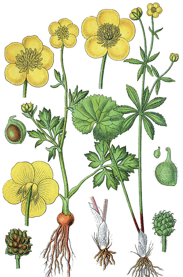 Lithography Drawing - left St Anthonys turnip or bulbous buttercup, Ranunculus bulbo by Bildagentur-online