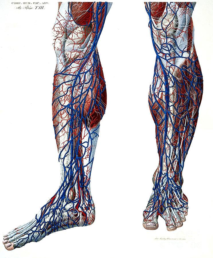 leg blood vessels