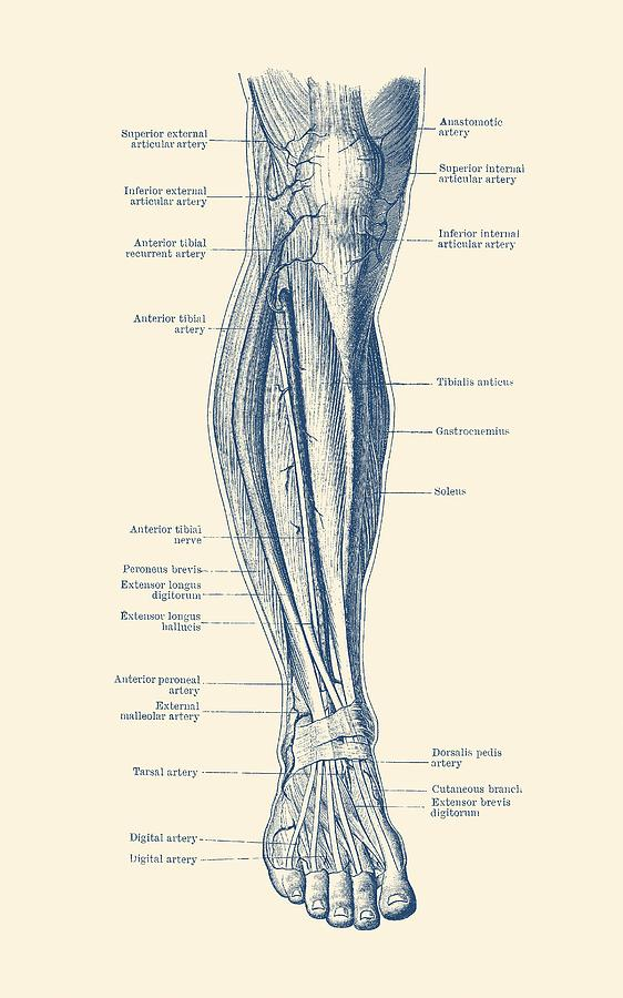 human circulatory system diagram leg diagram human circulatory system drawing by vintage anatomy  leg diagram human circulatory system