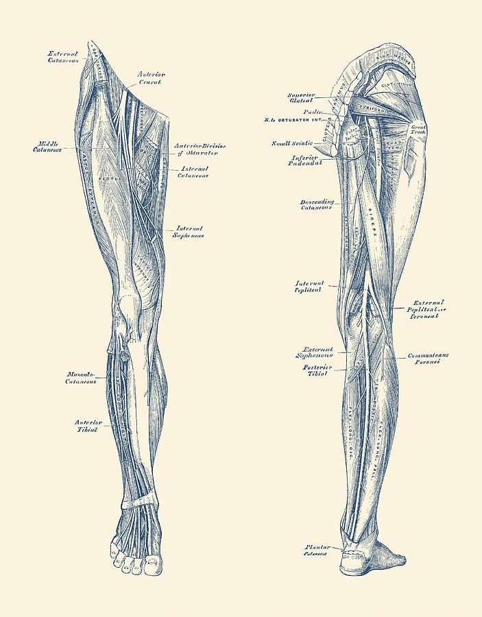Leg Muscular System Dual View Vintage Anatomy Print Drawing By