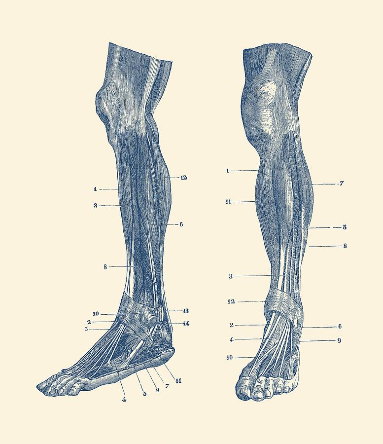 Leg Muscular System Dual View Vintage Anatomy Drawing By