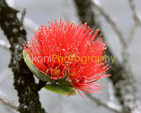 Ohia Photograph - Lehua Blossom by Anthony Valadon