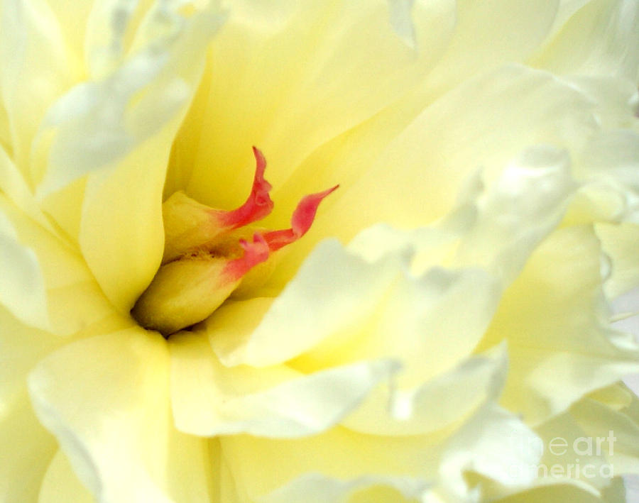 Peony Photograph - Lemon Chiffon I by Valerie Fuqua