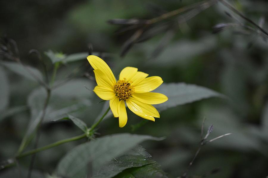 Lemon Queen Photograph - Lemon Queen by Shelley Smith