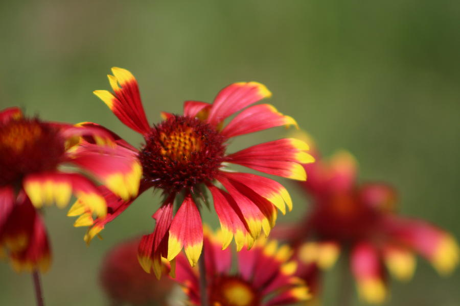 Coneflower Photograph - Lemon Yellow and Candy Apple Red Coneflower by Colleen Cornelius