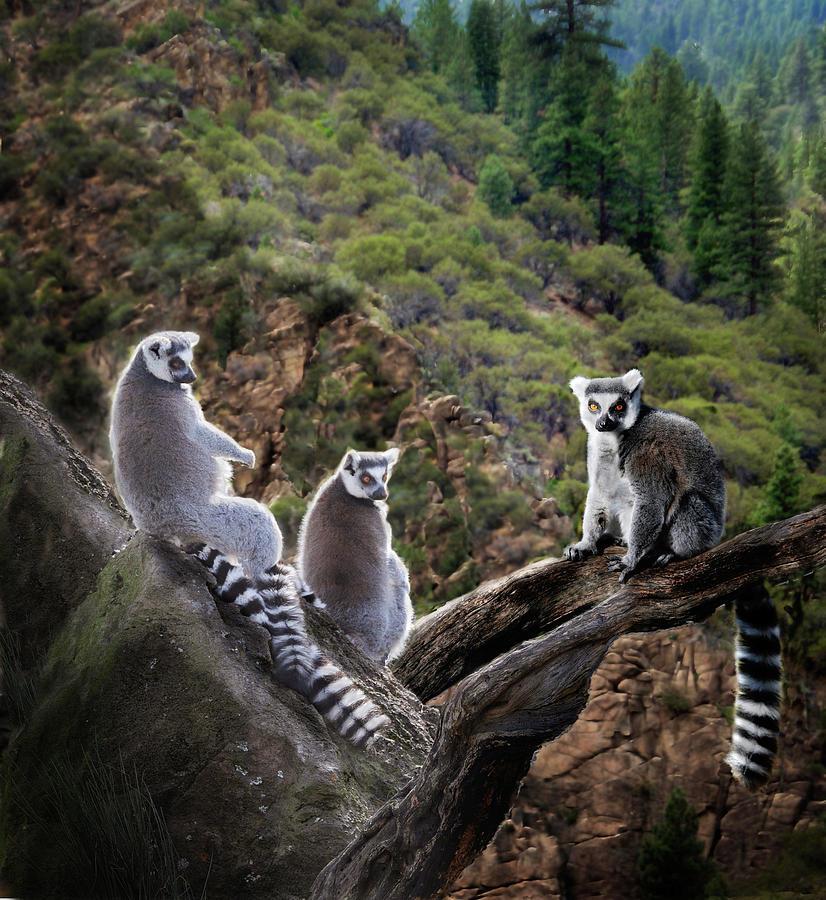 Nature Photography Photograph - Lemur Family by Melinda Hughes-Berland