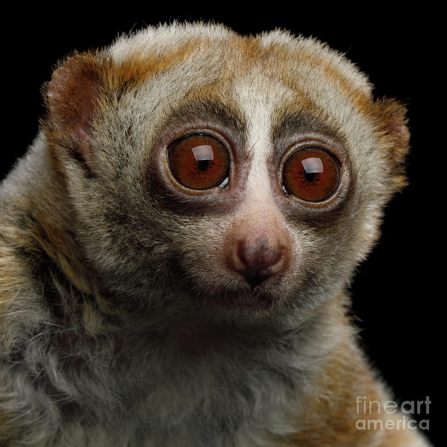 Lemur Slow Loris by Sergey Taran