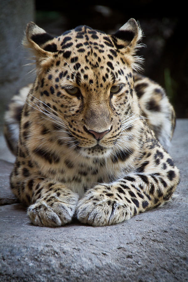 Leopard at Rest by Shannon Kunkle