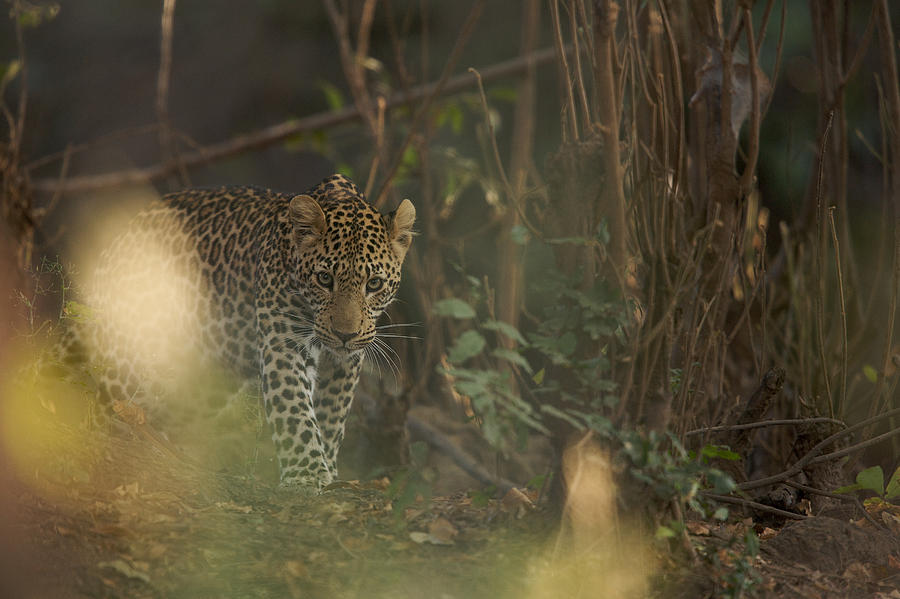 Africa Photograph - Leopard Comes Out Of The Bush by Johan Elzenga