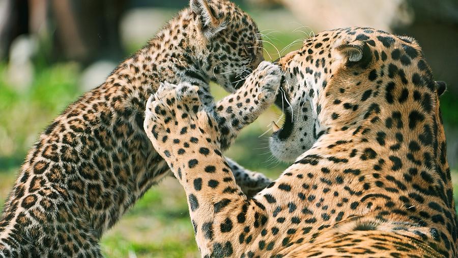 Leopard Digital Art - Leopard by Dorothy Binder