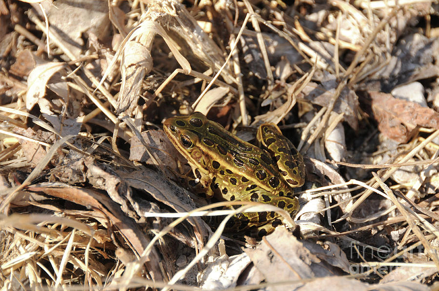 Leopard Frog Photograph - Leopard Frog by Lana Raffensperger