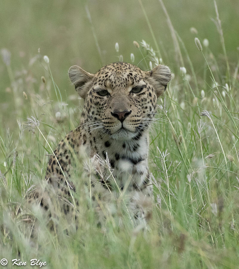Leopard in the grass by Kenneth Blye