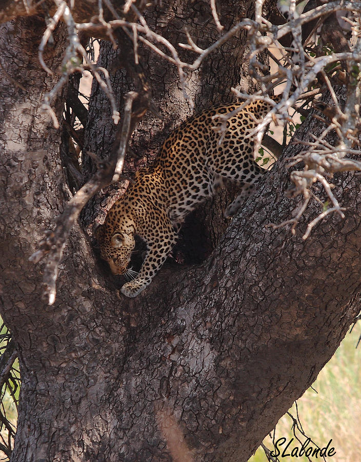 Leopard Photograph - Leopard In Tree by Sarah  Lalonde