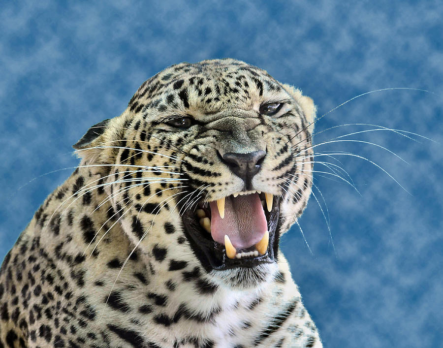 Leopard Photograph - Leopard  by Keith Lovejoy