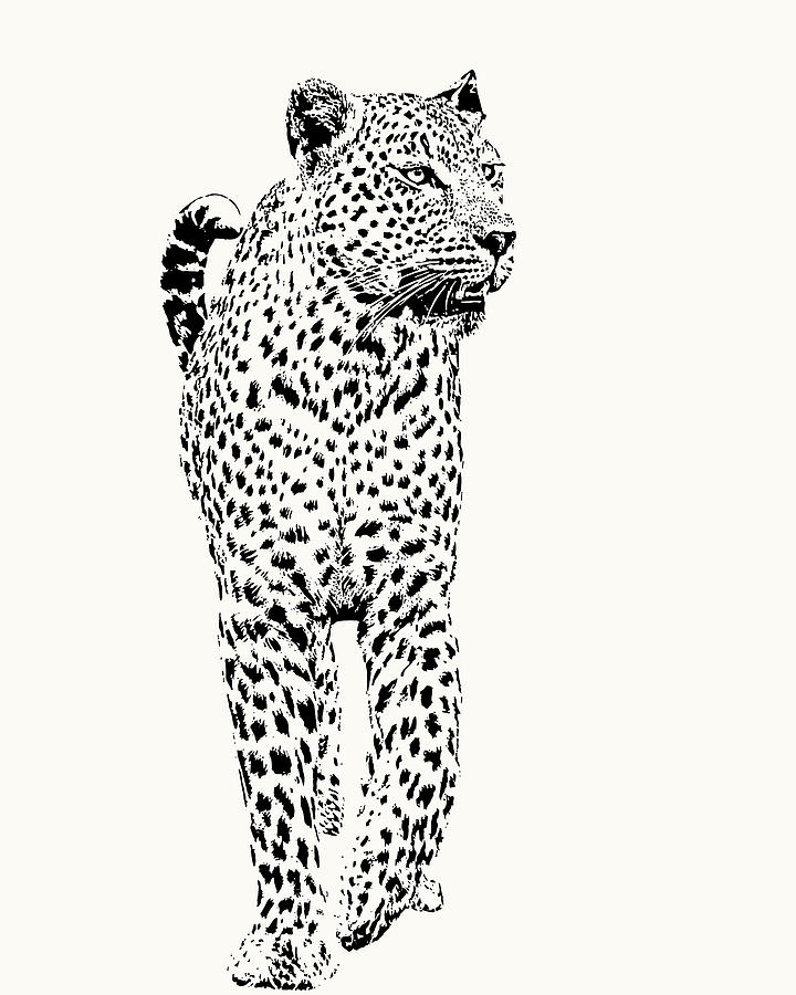 Leopard on Patrol, Front-on View by Scotch Macaskill