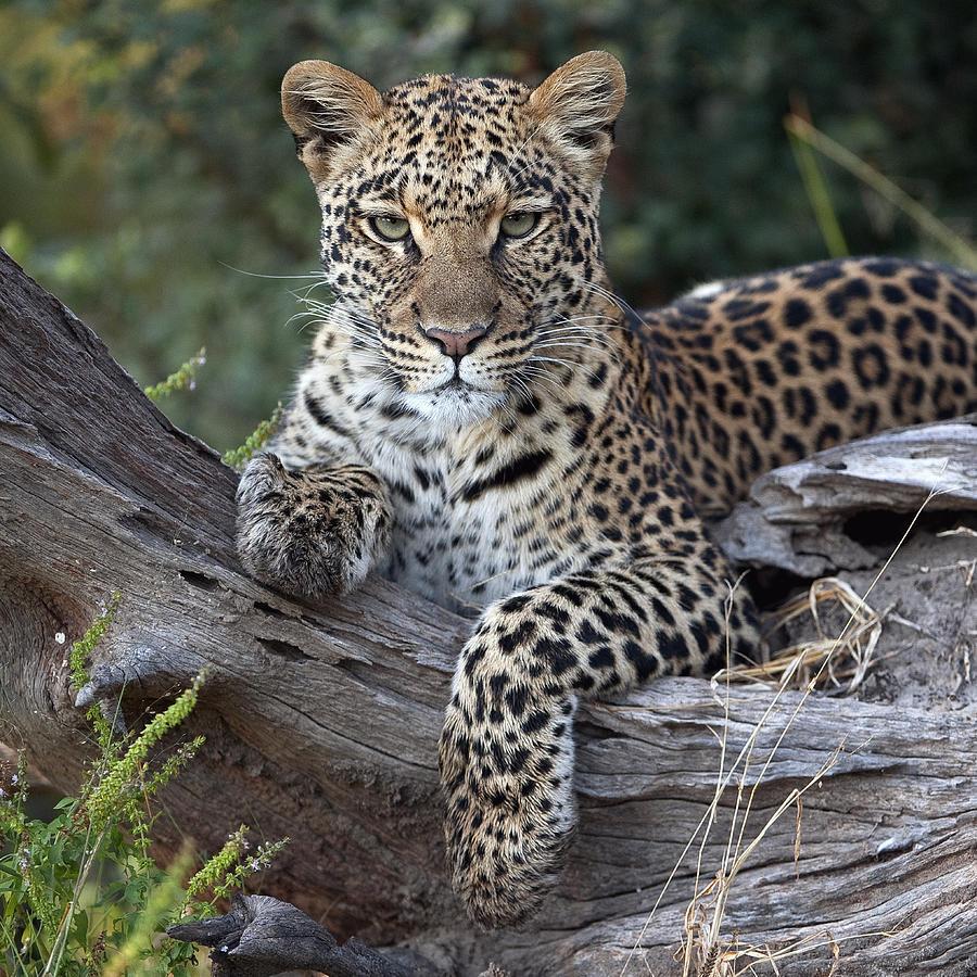 Leopard Panthera Pardus Resting Photograph by Sergey Gorshkov