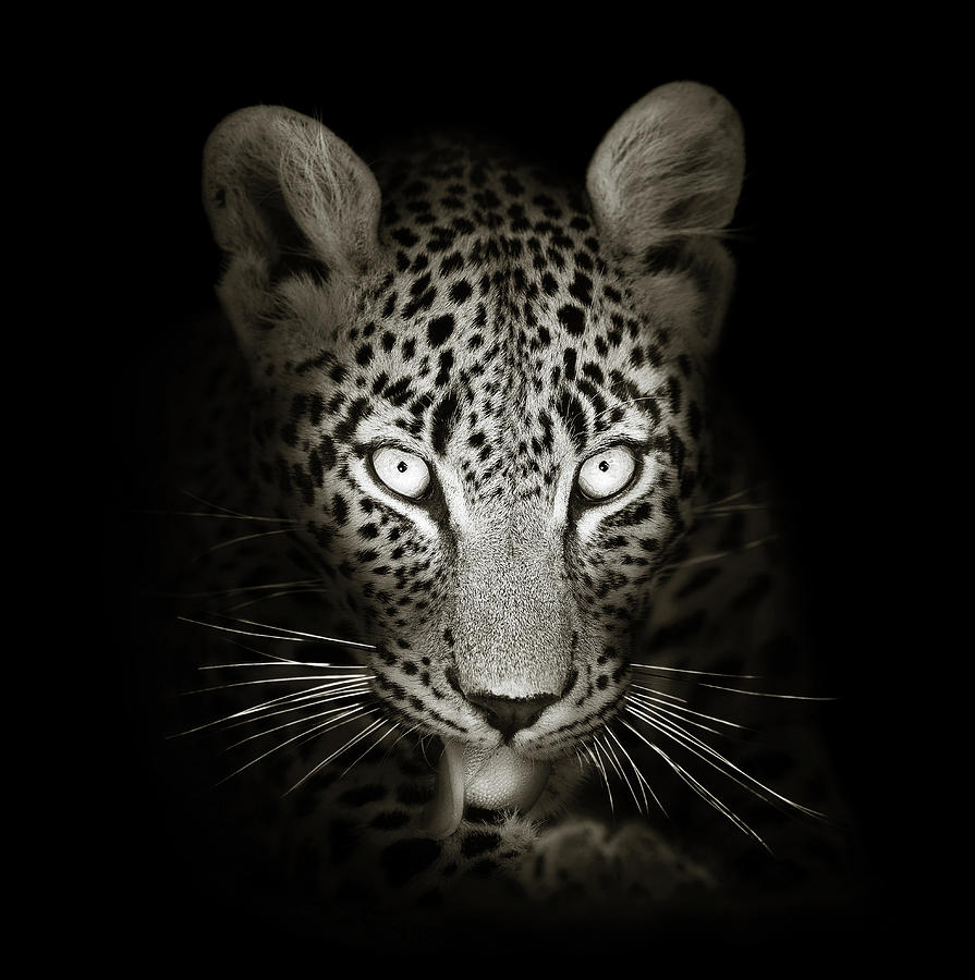 Leopard Portrait In The Dark Photograph