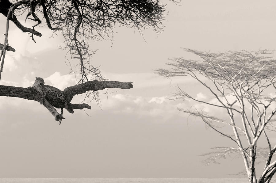 Leopard resting on a tree by Stefano Buonamici