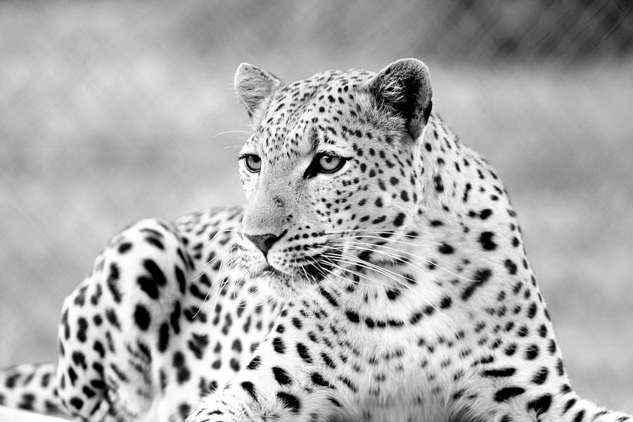 Leopard Photograph - Leopard by Riana Van Staden