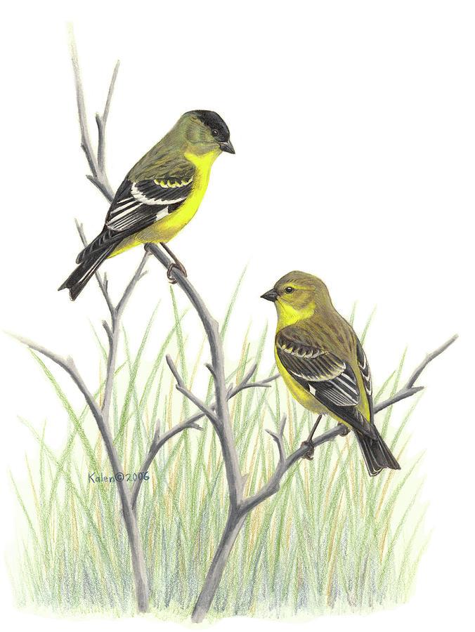 Lesser Goldfinch Pair Drawing by Kalen Malueg