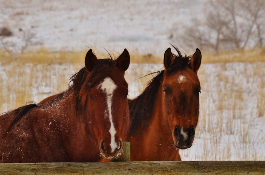 Horses Photograph - Let It Snow by George Bannister