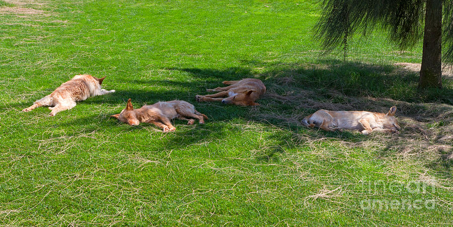 Dogs Photograph - Let Sleeping Dogs Lie by Louise Heusinkveld