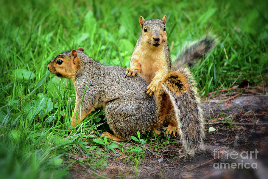 Squirrel Photograph - Lets Play by Gaby Swanson