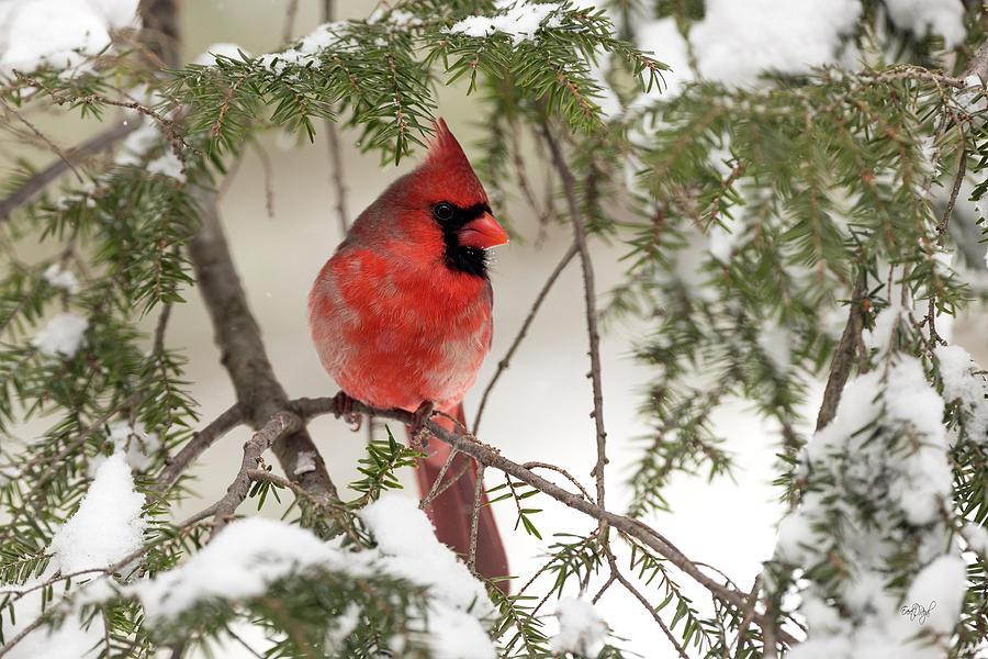 Leucistic Northern Cardinal Photograph