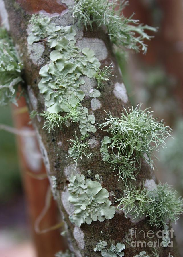 Nature Photograph - Lichens 4 by Carol Groenen